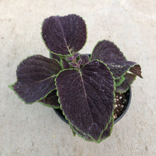 Load image into Gallery viewer, Coleus 'Vino'