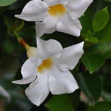 Load image into Gallery viewer, Mandevilla 'Jade Bush White' (Dipladenia)