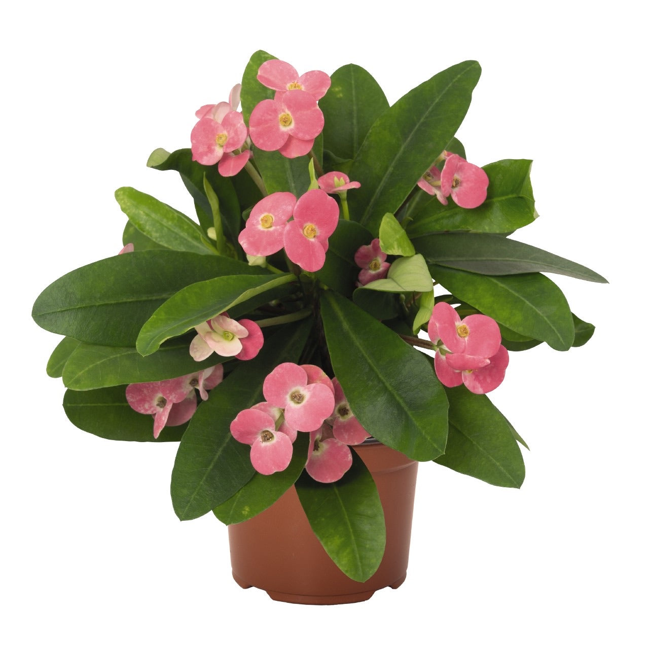 Euphorbia milii 'Pink Cadillac' (Crown of Thorns)