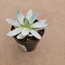 Load image into Gallery viewer, Echeveria peacockii