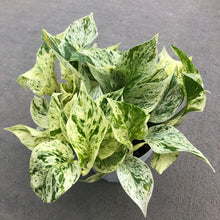 Load image into Gallery viewer, Epipremnum aureum 'Marble Queen' (Pothos)