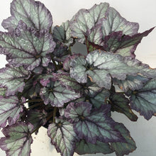 Load image into Gallery viewer, Begonia rex 'Ideal Silver Blue'