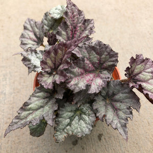 Begonia rex 'Ideal Silver Blue'