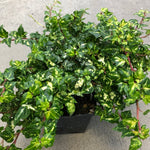 Hedra helix 'Golden Ingot' (English Ivy)