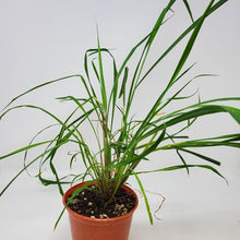 Load image into Gallery viewer, Cymbopogon citratus (Lemongrass)