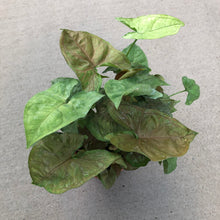 Load image into Gallery viewer, Syngonium podophyllum 'Maria Allusion' (Arrowhead Plant / Nephthytis)