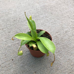 Nepenthes (Monkey Cups / Pitcher Plant)