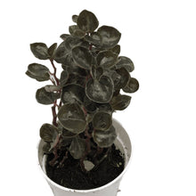 Load image into Gallery viewer, Peperomia metallica var colombiana (Metallica Peperomia)