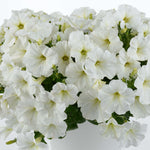 Petunia Capella White