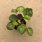 Saxifraga stolonifera (Strawberry Begonia)