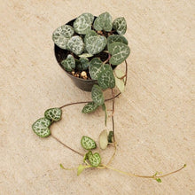 Load image into Gallery viewer, Ceropegia woodii (String of Hearts)