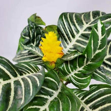 Load image into Gallery viewer, Aphelandra squarrosa (Zebra Plant)