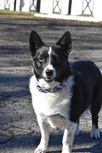 Load image into Gallery viewer, Aladdin Inspired Dog Collar