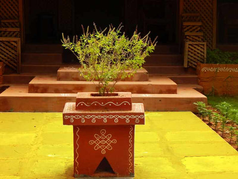 Tulsi Plant in Traditional Altar Pot