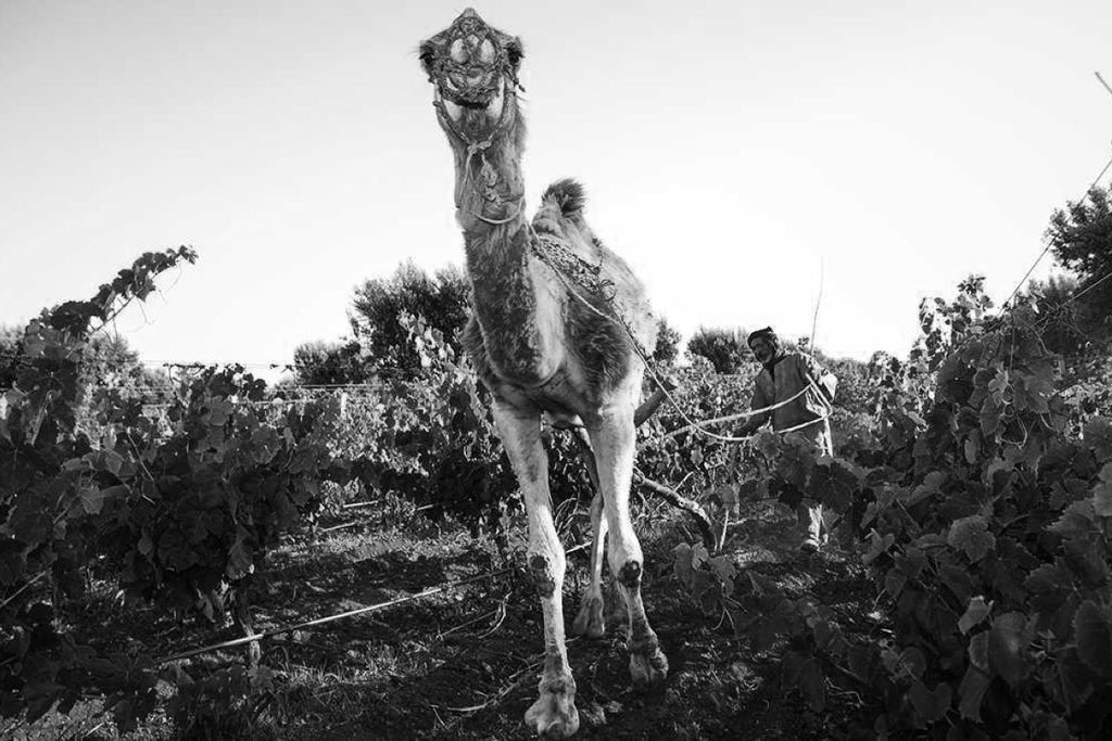 Domaine du Val d'Argan, Morocco, Natural Wine Producers, Primal Wine - primalwine.com