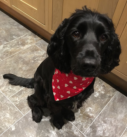 Charley our rescue spaniel wearing her washable fabric My Valentine dog collar and bandana. Handmade in the U.K.