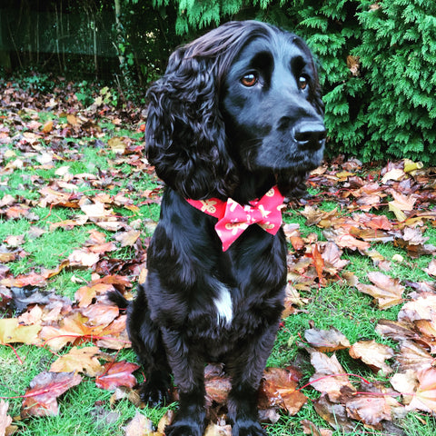 Charley our rescue spaniel wearing her washable fabric Christmas Gingerbread dog collar and bow. Handmade in the U.K.