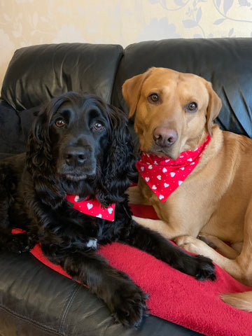 Fox red Labrador and black spaniel snuggled on the sofa wearing their handmade Valentine collars and bandanas.