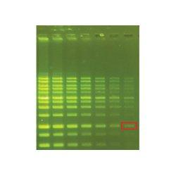 GREEN DNA Fluorescent DNA Stain, 10,000X Concentrate GMD-500