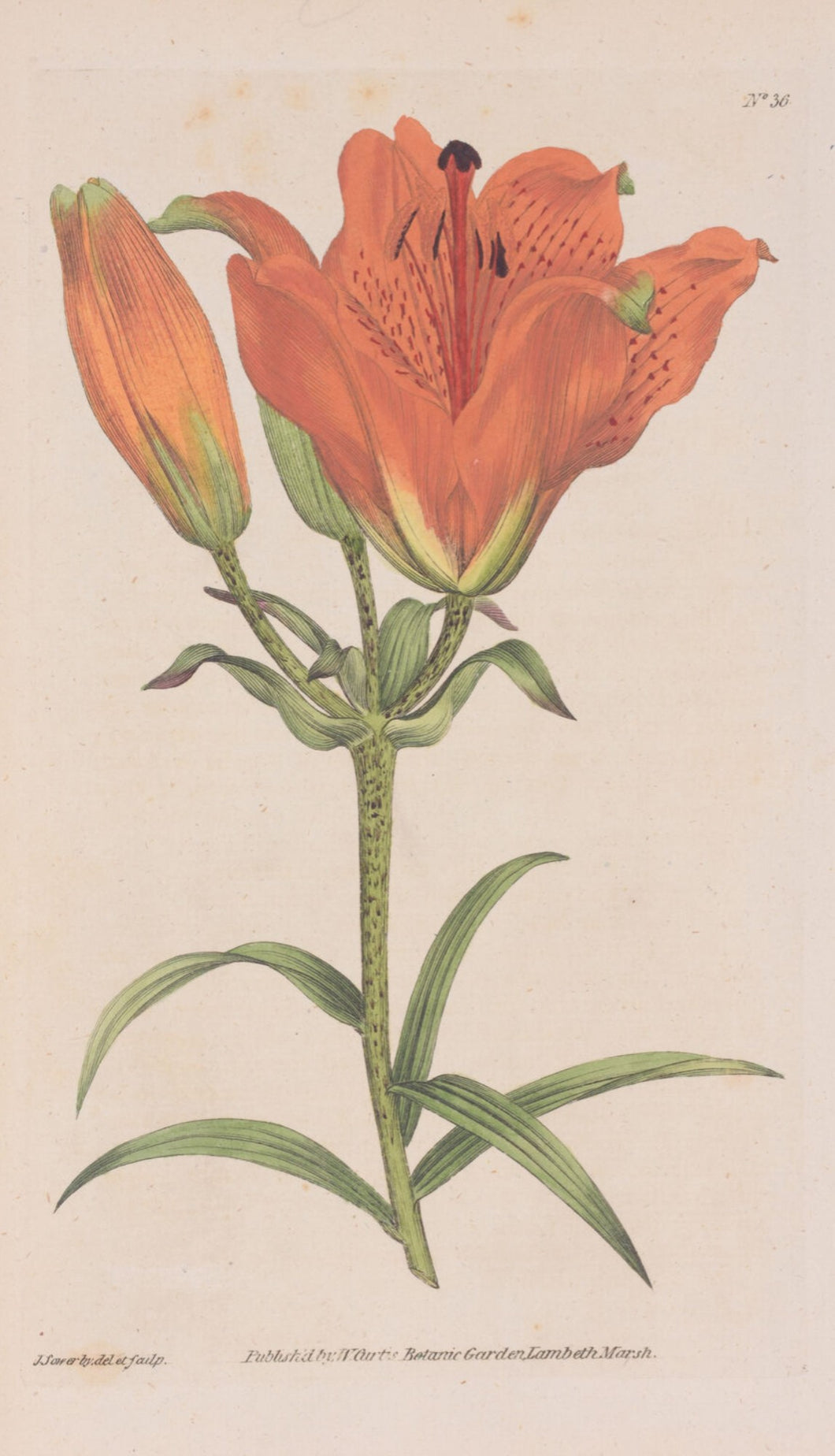 Orange Lily No. 36 Botanical Print