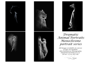 Printed Cards - Dramatic Animal Portraits - Monochrome (P)