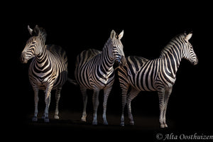 Three Musketeers (Colour) - Dramatic Animal Portraits