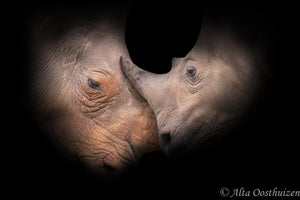 Gentle Giant (Colour) - Dramatic Animal Portraits