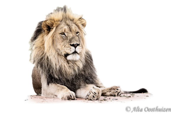 Kalahari King - High Key Animal Portraits