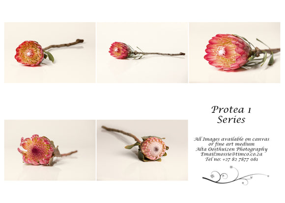 Printed Cards - Protea 1