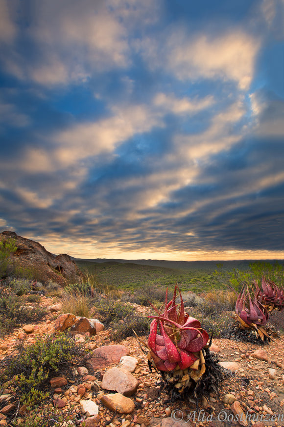 Aloe Sunrise - Landscapes
