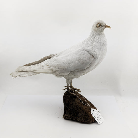 White Pigeon Taxidermy
