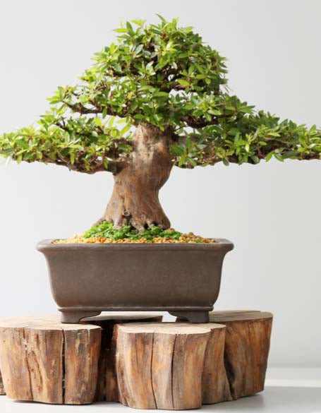 Bonsai & Tropical Plants New York Flower Gifts - New York flower delivery