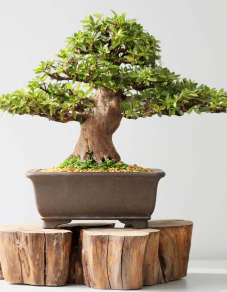 Bonsai & Tropical Plants Gifts - New Jersey Flower Delivery - New Jersey Blooms