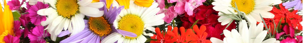 Flower Gifts New York - Daisies - New York Flower Delivery