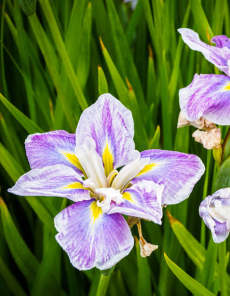 Irises Gifts - New Jersey Blooms Gifts - New Jersey Flower Delivery