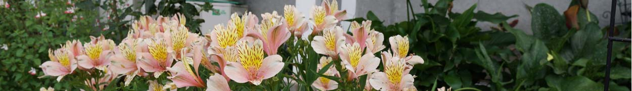 Peruvian lilies Flower Gifts New Jersey - Same Day Shipping Flower Delivery New Jersey