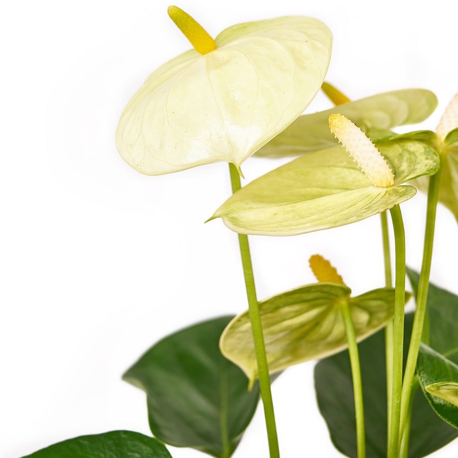 Admiration & Love Flower & Chocolate - Anthurium and Chocolate Gift Set - Same Day Toronto Delivery