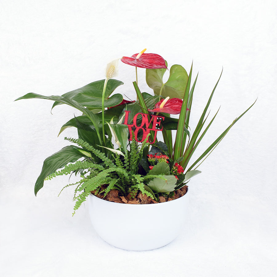 Valentine's Day Potted White Anthurium