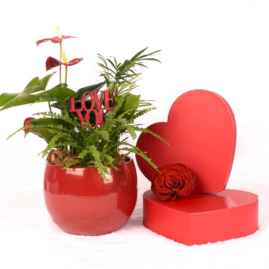 Valentine's Day Ardent Red Anthurium
