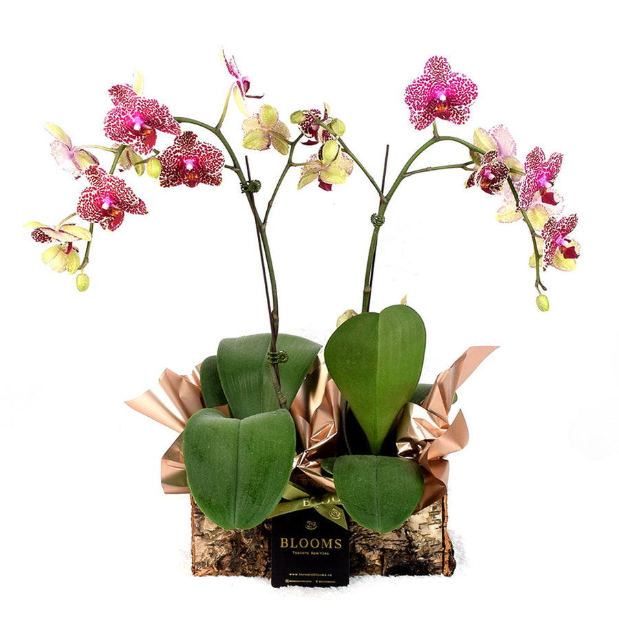 Orchid plant Toronto Same Day Delivery