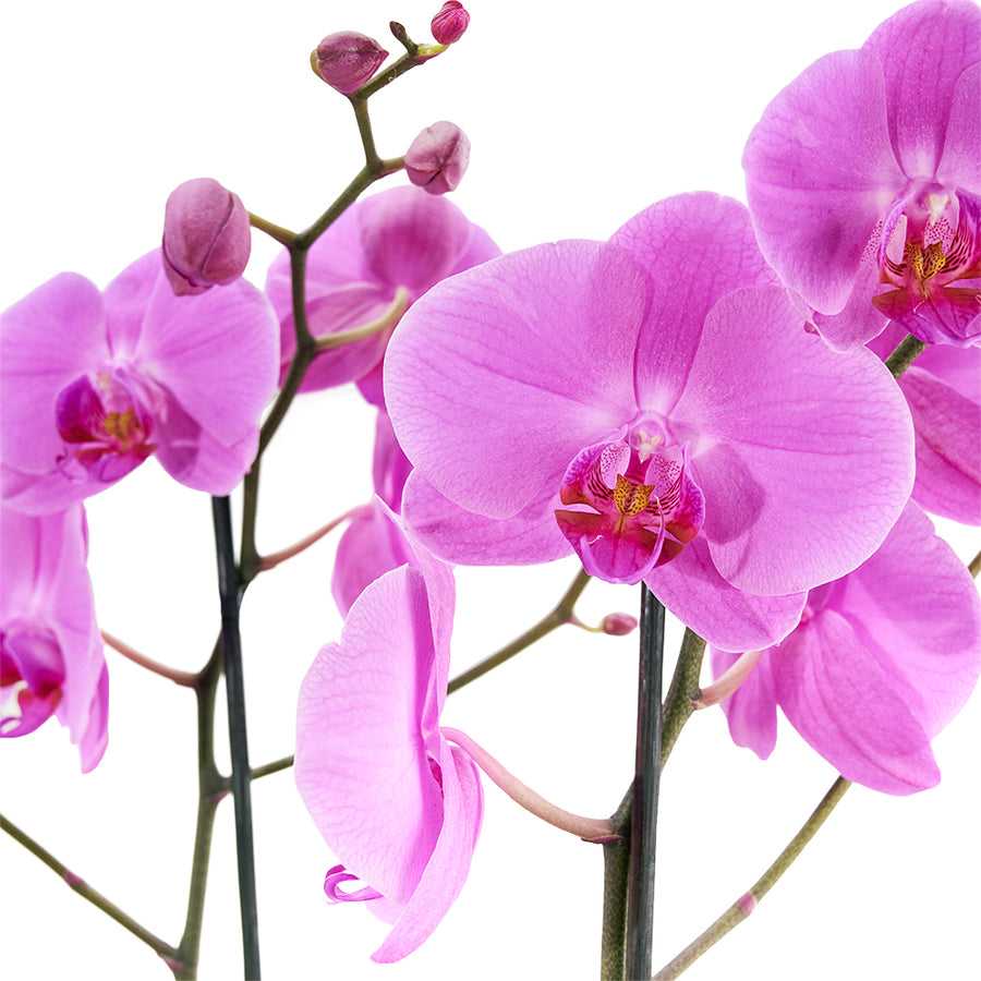 Pink orchid arranged in a black box. Same Day Toronto Delivery
