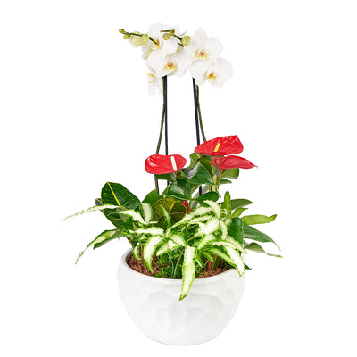 Tropical Arrangement - Orchid and Anthurium Potted Arrangement - Same Day Toronto Delivery