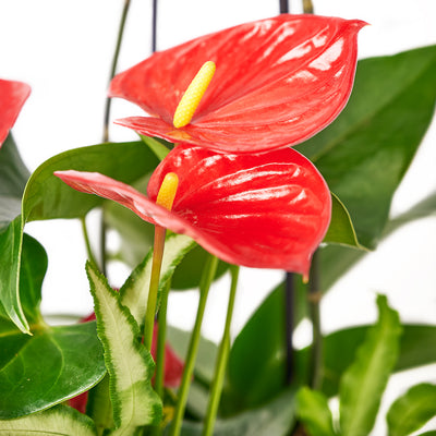 Tropical Arrangement - Orchid and Anthurium Potted Plant - Same Day Toronto Delivery