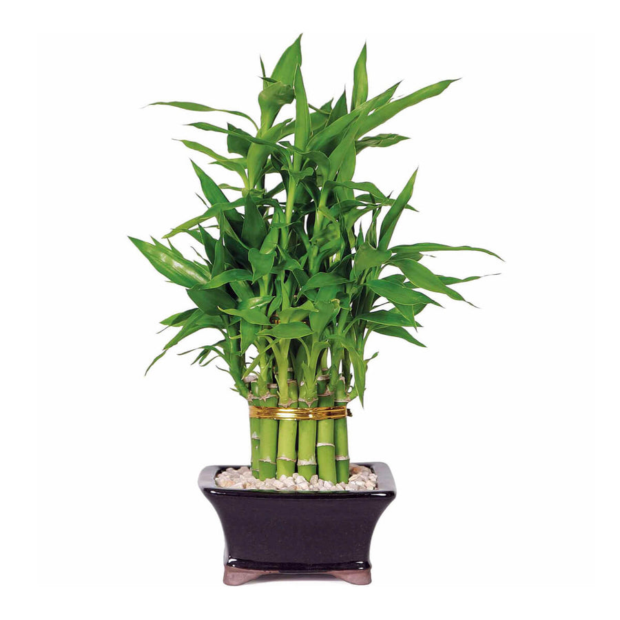 Emerald Miracle Bamboo Plant