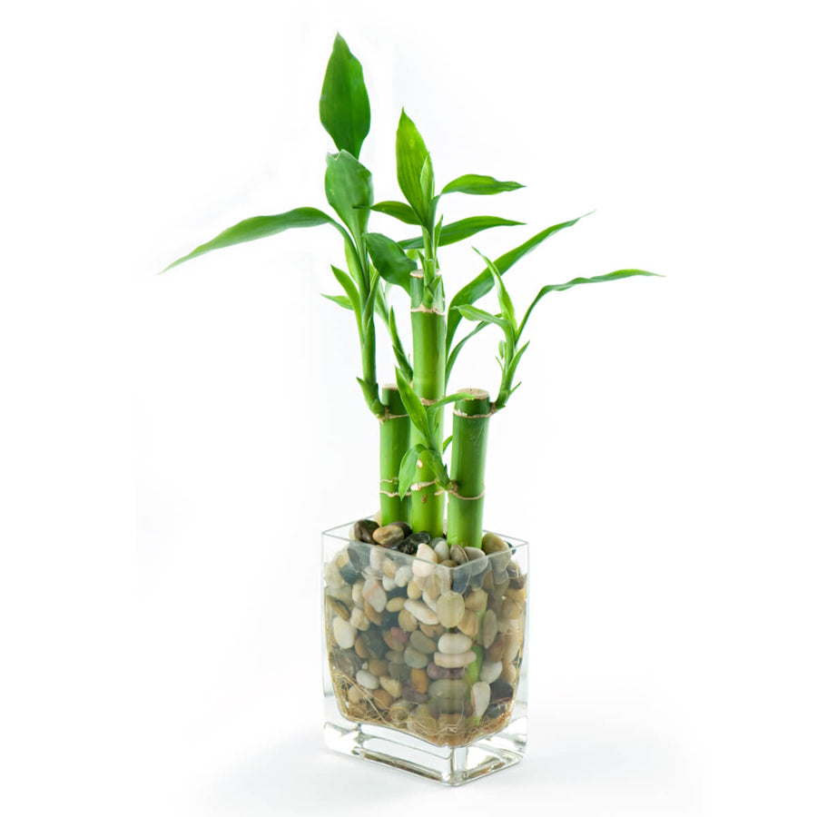 Oriental Delight Bamboo Plant