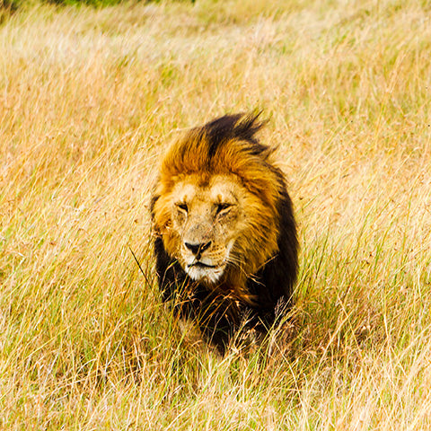 Lion Walking Through Field