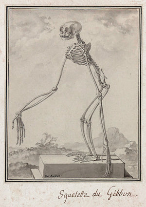 Gibbon Skeleton - Venus Art Prints