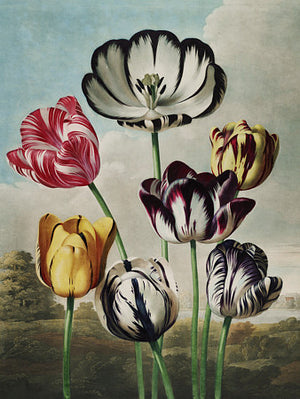 Tulips - Venus Art Prints