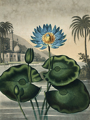 Blue Egyptian Water Lily - Vintage Venus Prints