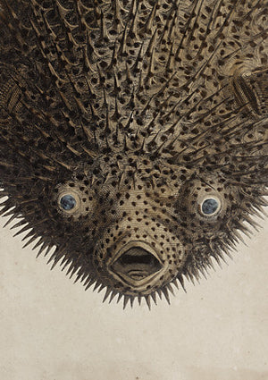 Porcupine Fish - Venus Art Prints